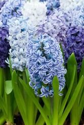 Hyacinths are colourful and cheerful bedding plants which fill the air with their sweet, heady fragrance. Hyacinth bulbs are superb grown in tubs, massed in beds or planted in informal groups in the borders.