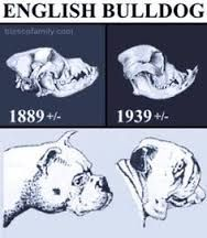 THIS IS THE SKULL OF BRACHYCEPHALIA DOGS!!! NEVER BUY A PUG OR A BULLDOG!!!!