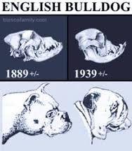 THIS IS THE SKULL OF BRACHYCEPHALIA DOGS!!! NEVER BUY A PUG OR A BULLDOG!!!!