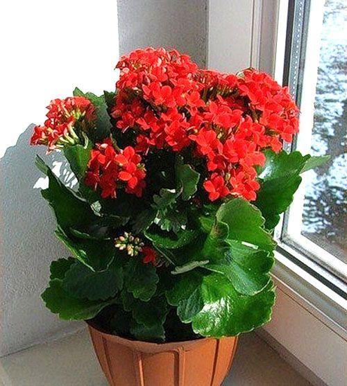 Зная, как обрезать каланхоэ, можно значительно продлить жизнь цветку и сделать растение более оригинальным, наслаждаясь его цветением и используя в лечебных целях.