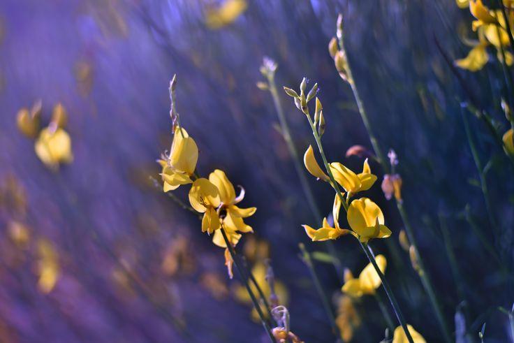 Gorse a desert flower by Marcello Machelli on 500px