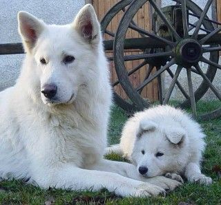 Mom and baby - Berger Blanc Suisses. One of my future dogs! The original German Shepard! Dimy!