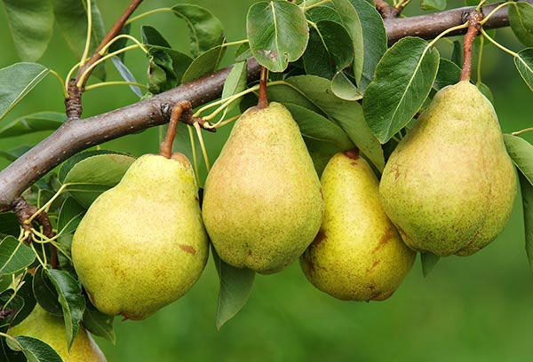 Your venture in growing pears could benefit from this guide to the planting, pruning, protection, and harvesting of pear trees.