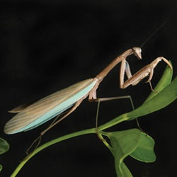 how to keep a baby praying mantis as a pet