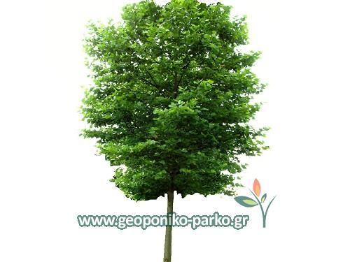 Ανθοφόρα - Καλλωπιστικά δέντρα : Πλάτανος δέντρο - Γλ. 30 lt - ύψος 3,5 m - κορμός 8-10