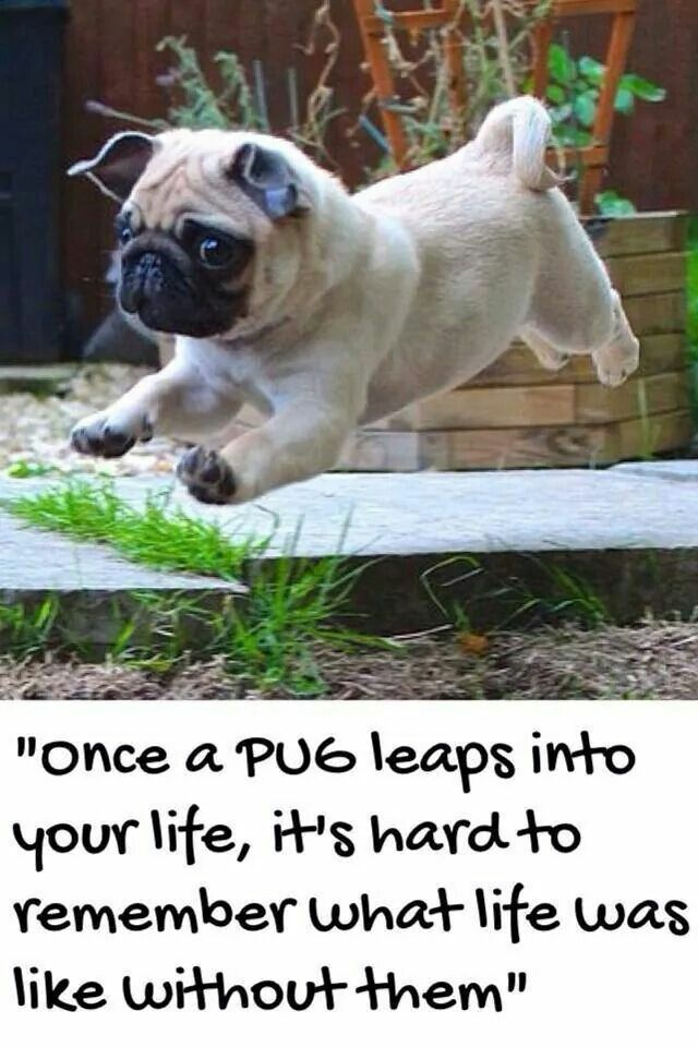 i want a pug for my birthday