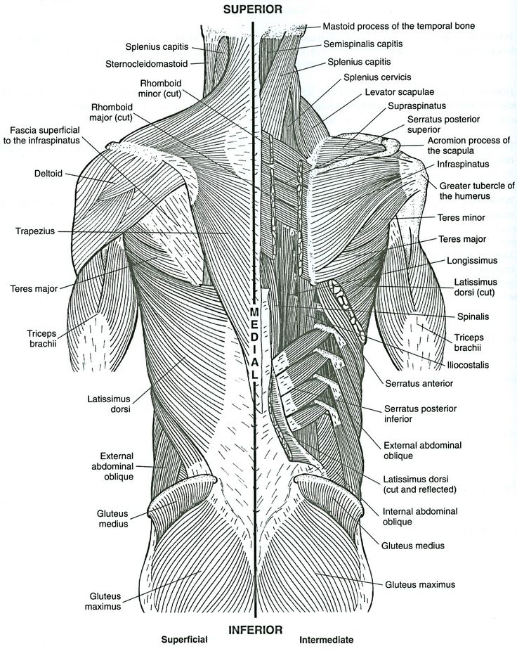 55 best images about anatomy of muscles on pinterest | the hip, Muscles