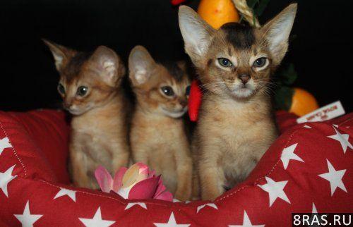 Абиссинские котята,американские линии, Москва | объявление №274