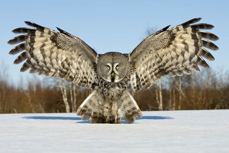 Great gray owl. NICOLAE'S brother Vikirnoff, keeps the form of an owl most the time because he is so close to turning vampire. Introduced in Dark Destiny