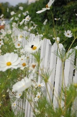 cosmos through the garden fence