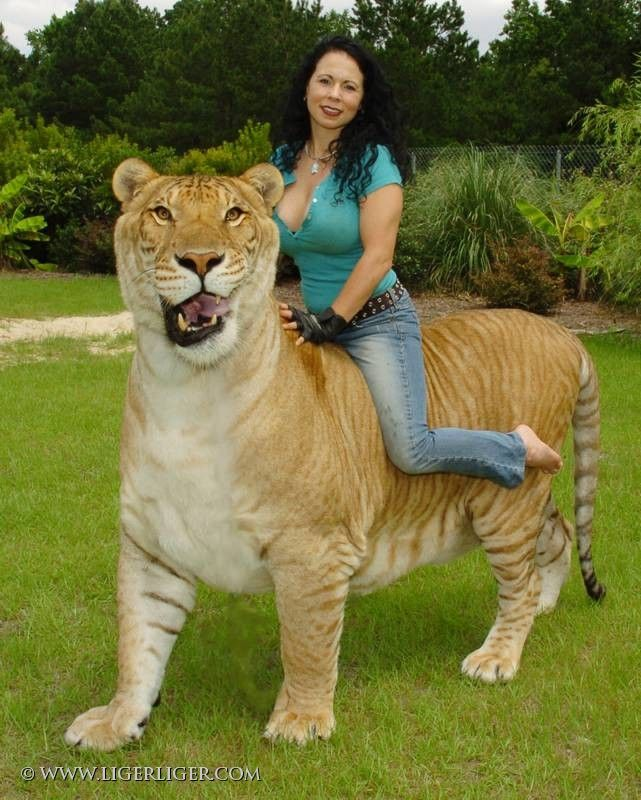 liger photos | World's Biggest Liger | Save Our Wild Cats ...