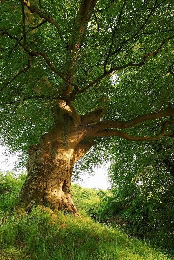 """naturespiritheart: """"  Belvoir Tree in Evening Light by Gerard1972 (please leave credit) """""""