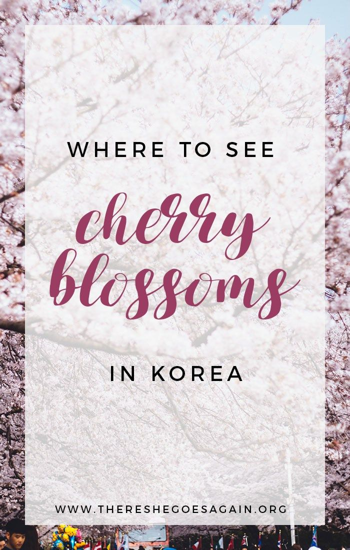 Wondering where to see cherry blossoms in Korea? Look no further as we list out some of the best places to see them!