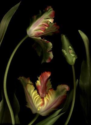 Edward KoinbergParrot Tulips, Nature, Art, Parrots Tulip, Gardens, Herbarium Amory, Botanical, Edvard Koinberg, Flower