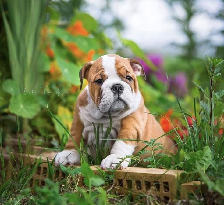14 Photos Proving That English Bulldog Puppies Are The Cutest | The Paws  – Bulldogs