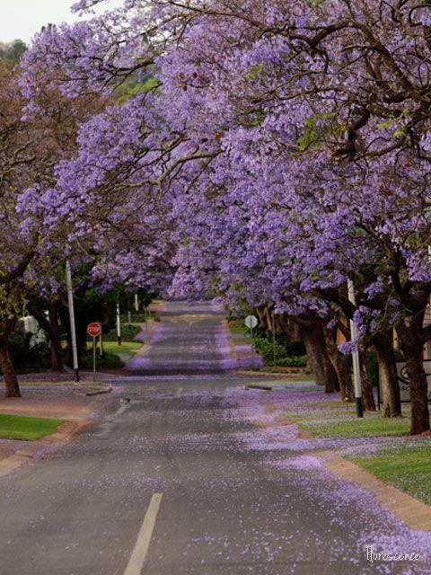 Jacarandas in bloom.  Premier Street, Brooklyn, Pretoria, (c) Florescence