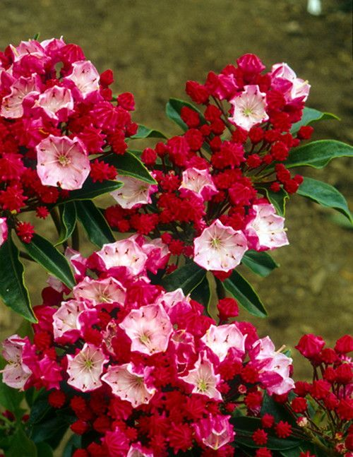The Mountain Laurel (Kalmia latifolia), also known as Spoonwood, is a beautiful evergreen shrub that flowers every spring. The unique star shaped flowers form in a tight cluster and bloom from early J