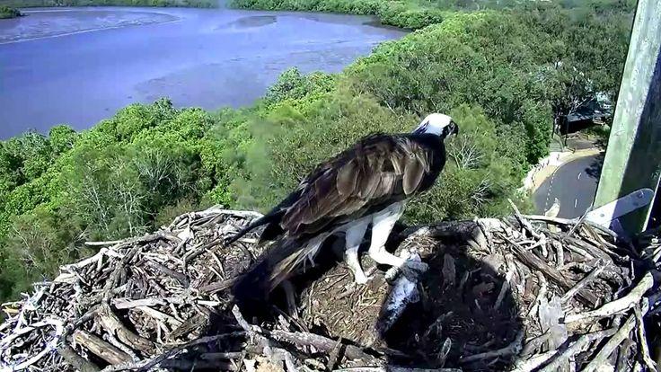 2015 11 17 Osprey Vivie lands in Mynah's hole