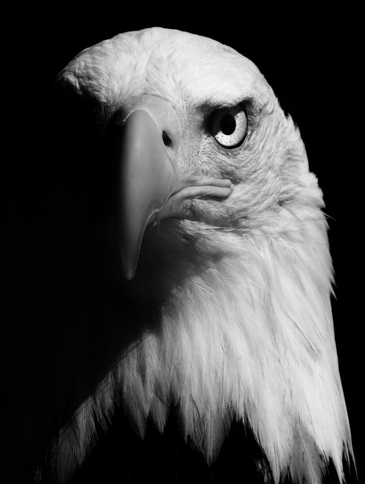 The bold Eagle looks even more majestic in black and white #photographytalk #blackandwhitephotography
