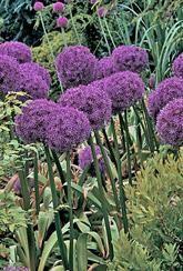 Allium - Gladiator- Bulbs