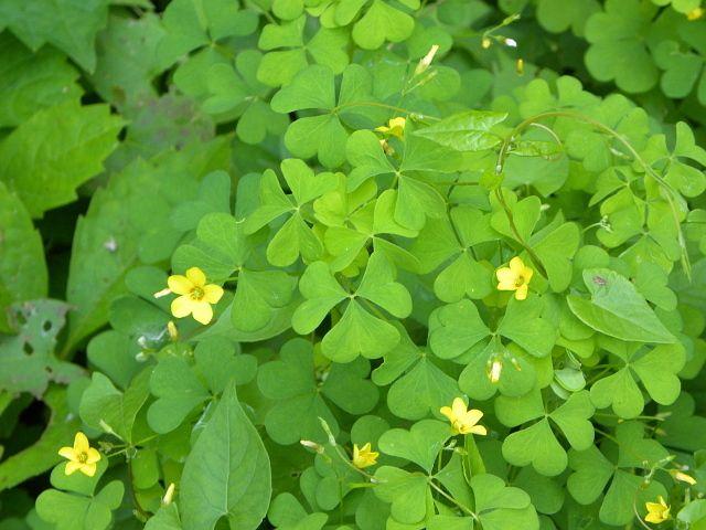 62 best Local wildflowers: Massapequa Preserve, Long ... Mayflower Flower Yellow