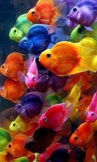 Bright multi colored gold fish.