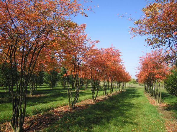 Amelanchier lamarckii. Mooi in voorjaar en herfst. Blijft ook klein en is meerstammig, mooi!