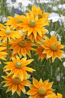 Rudbeckia - Prairie Sun. Clear lemon central disk. This can brighten up any Fall garden. Grows to 2' tall & wide & prefers a sunny locale. Keep blooming if deadheaded!