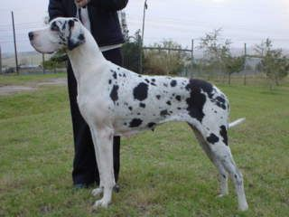 Next dog I need...Piebald great dane...now I just need a yard. And a house to go with it.
