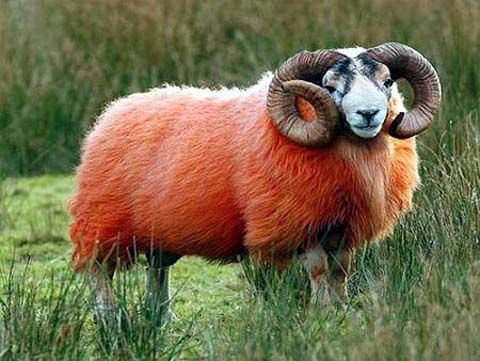 Red Sheep Of Scotland