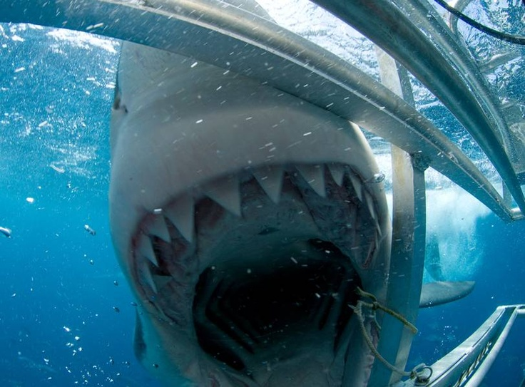 Cage dive with Great White Sharks, South Africa.