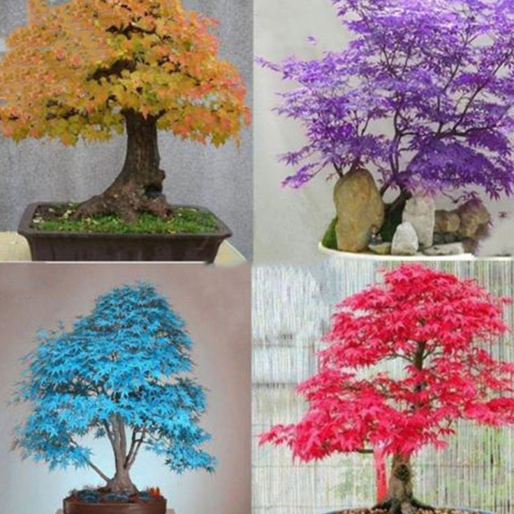 Amazon.com : Best Garden Seeds Rare Colorful Bonsai Japanese Maple Tree Seeds, 20 Seeds, new dazzling bonsai tree perennial plants : Patio, Lawn & Garden