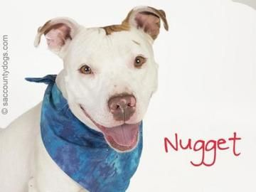 Check out *Nugget's profile on AllPaws.com and help him get adopted! *Nugget is an adorable Dog that needs a new home. https://www.allpaws.com/adopt-a-dog/pit-bull-terrier/6590971?social_ref=pinterest