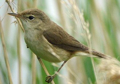 """Reed Warbler """"Teichrohrsänger"""" Wollmatinger Ried, Germany 2013"""