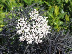17 best ideas about sambucus nigra black lace on pinterest