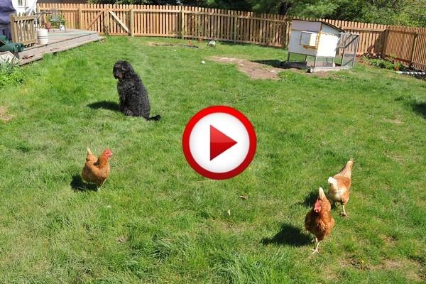 Chickens stealing dobermans breakfast #animals, #birds, #dogs, #funny, #videos, #pinsland, https://apps.facebook.com/yangutu