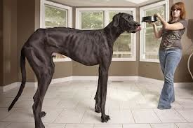 Behold the biggest great Dane in the World.