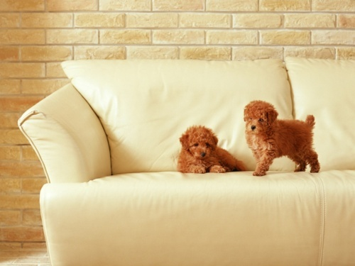 toy poodles.