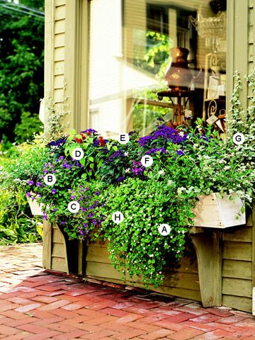 Add Drama to a Big Window: Torenia Catalina, Idea, Big Windows, Container Gardening, Flower Boxes, Window Boxes