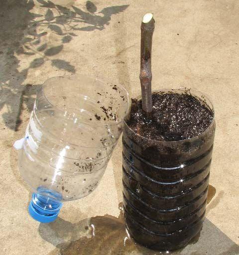 Figuier boutures : en février, rameaux d'1 an, pourvus de 3 à 5 yeux, plusieurs trous en bas de la bouteille + 1 en haut, substrat inondé, 2 ou 3 yeux enterrés, fermer la bouteille, emplacement lumineux > 16°, on enlève le bouchon quand plusieurs feuilles sont formées, on enlève le couvercle quand on voit les racines, on met les bouteilles dehors quand > 13° jusqu'à l'hiver