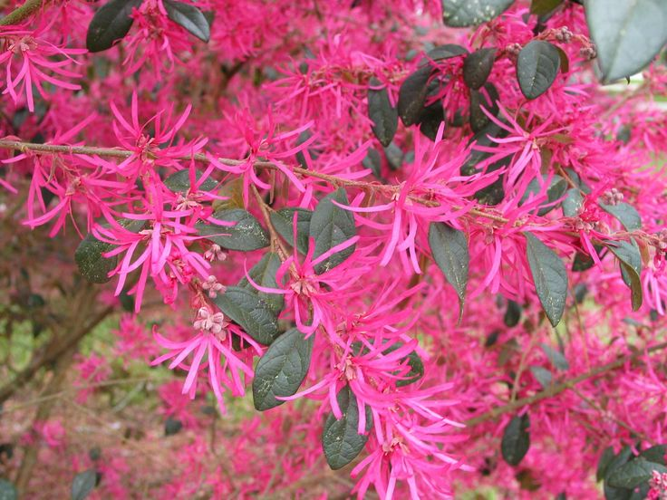 From Zhuzhou China Comes This Pink Flowered Loropetalum