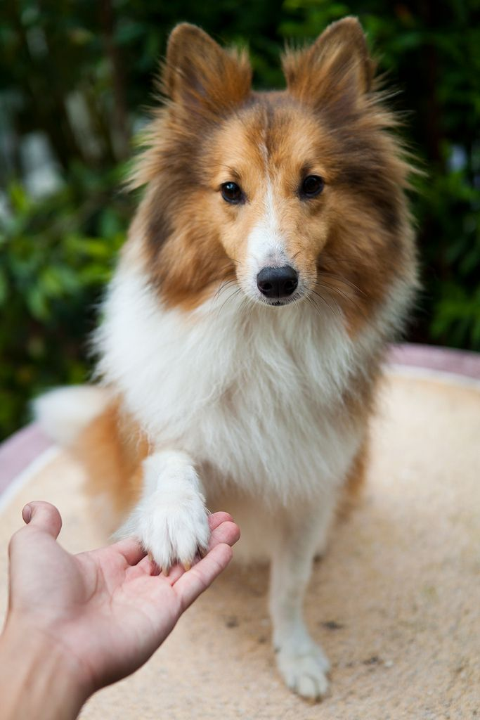 17 best images about shelties smartdogs on pinterest shetland sheepdog beautiful sights and. Black Bedroom Furniture Sets. Home Design Ideas