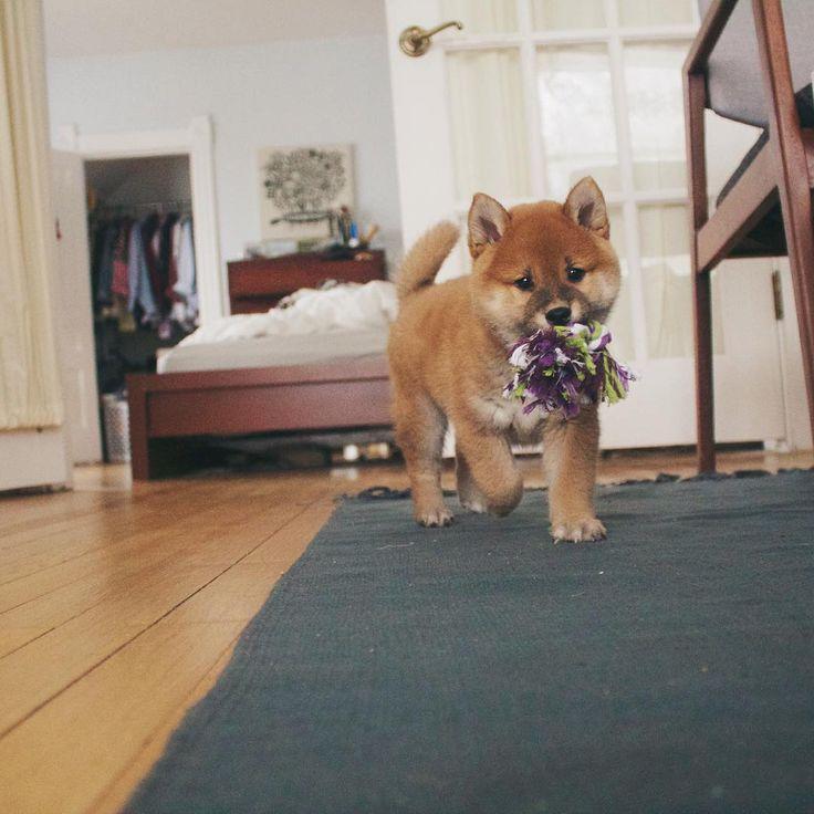 Welcome all Shiba Inu Lovers!