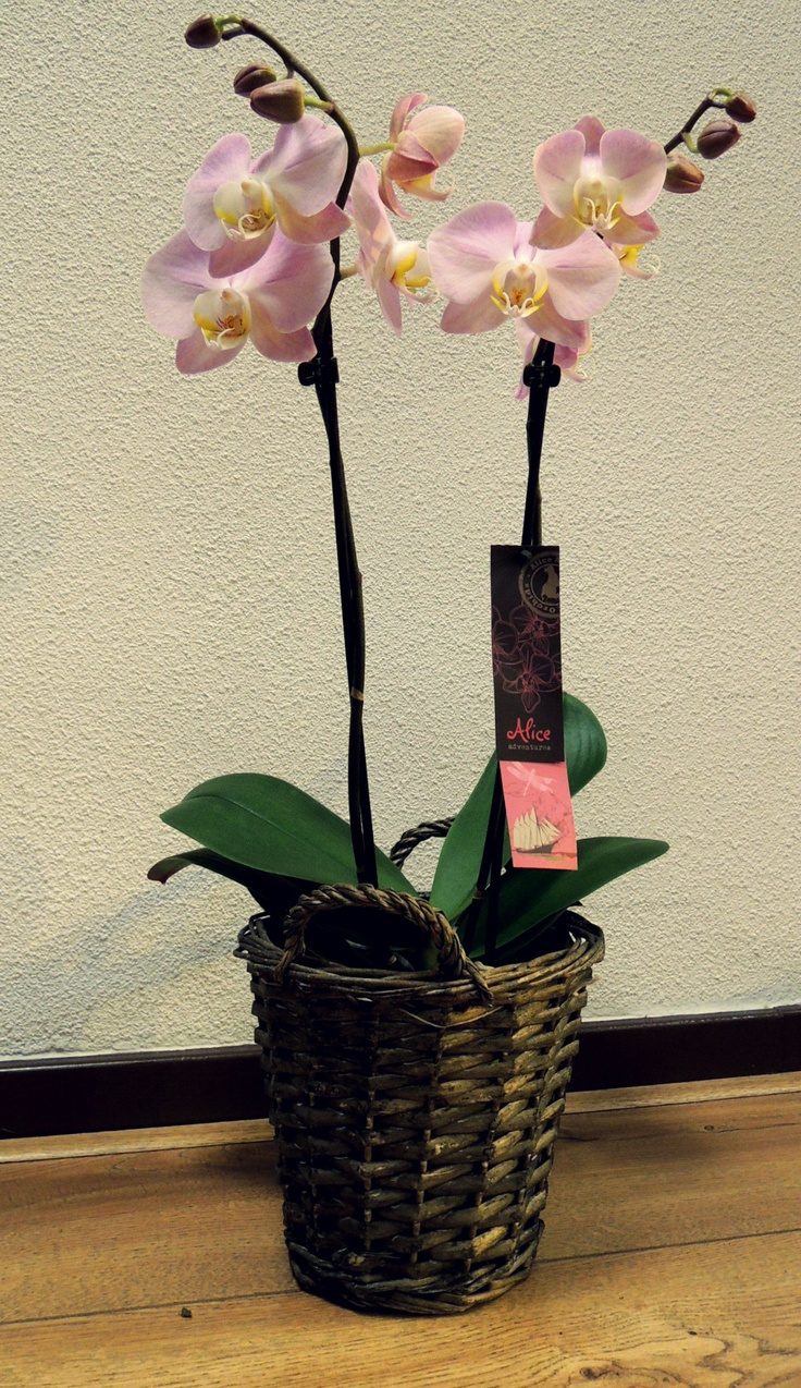 Phalaenopsis Orchid of Alice Adventures