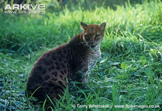 Male African golden cat