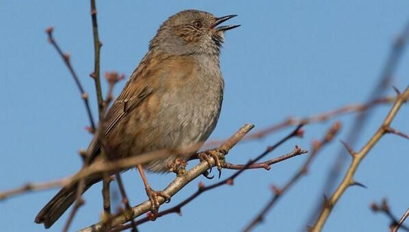 The Dunnock.  But do you recognise their song?  Follow the link ...