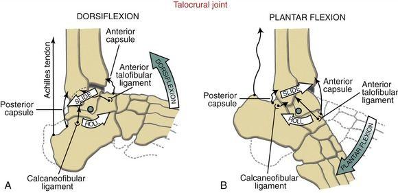 Znalezione obrazy dla zapytania talocrural joint arthrokinematics
