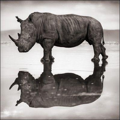 Rhino on Lake by Nick Brandt