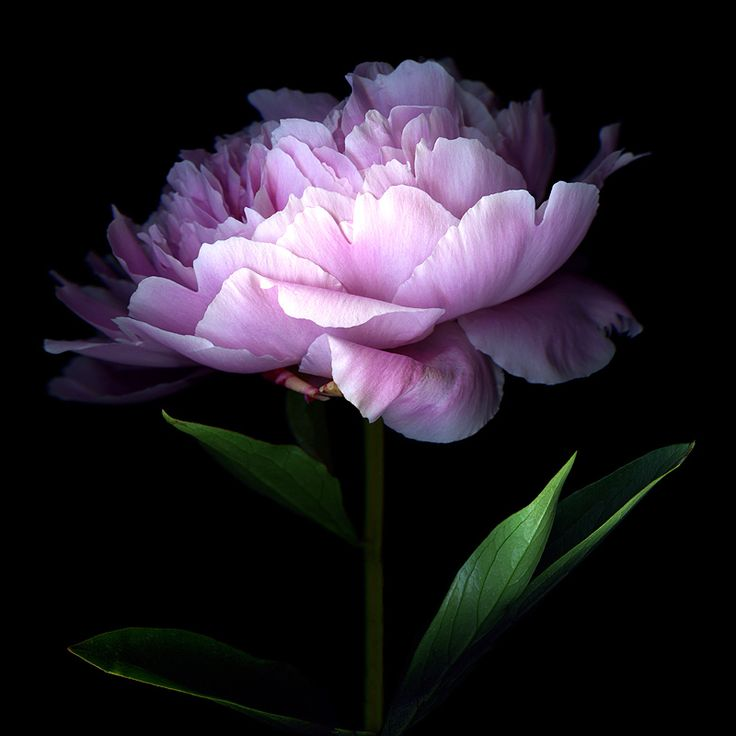 """HER MAJESTY... THE PEONY"" by Magda indigo, via 500px."