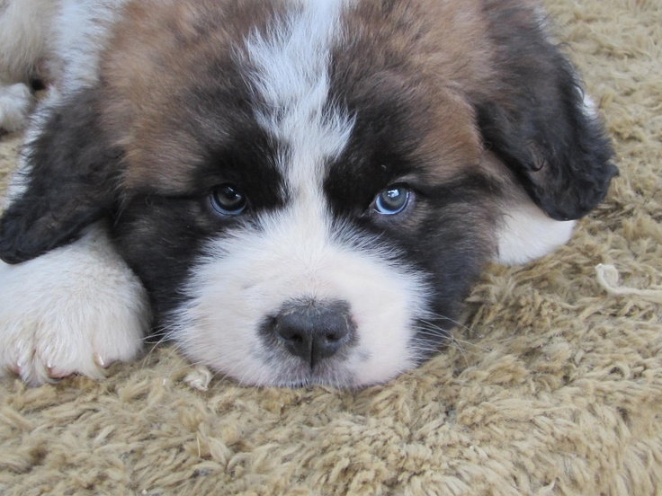 This beautiful Saint Bernard Puppy looks just like mine, 'Scruggers Beauregard' from 40 years ago! What a special memory. I have never forgotten you, Scruggers Beauregard!
